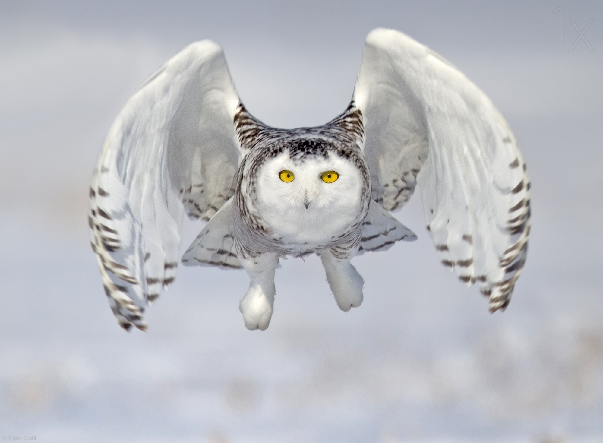 bird photography owl by peter stahl