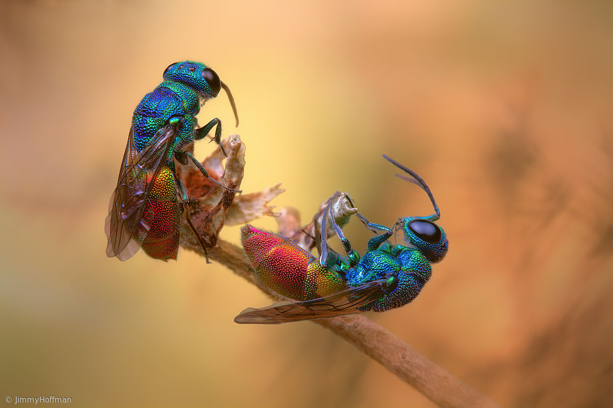 macro photography colorful jewel wasps jimmy hoffman