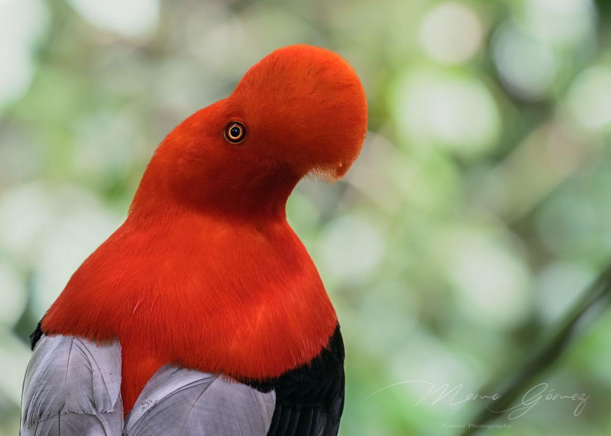 bird photography cotinga by memo gomez