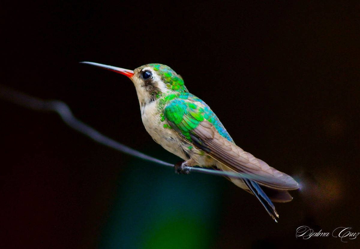 bird photography hummingbird by dijalma cruz