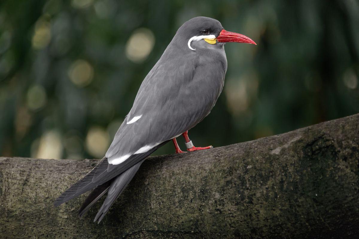 bird photography inca tern by ken lane