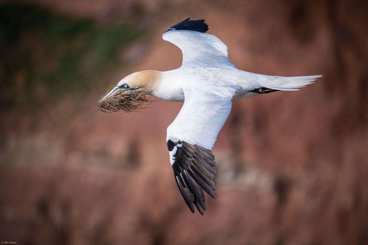 bird photography northern gannet by petr simon