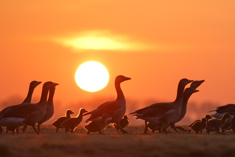 sunrise photography marching gooslings by roeselien raimond